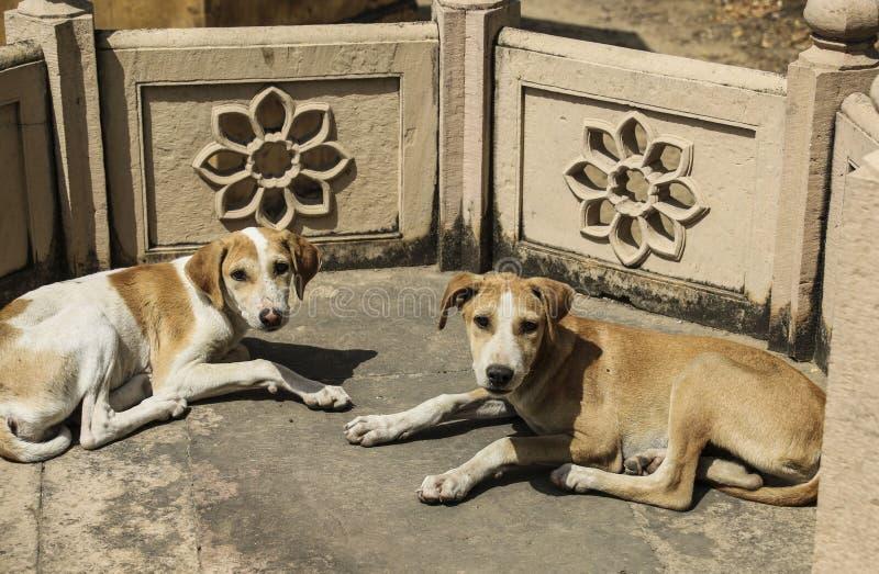 Dakloze honden in de tempel, New Delhi, India royalty-vrije stock foto