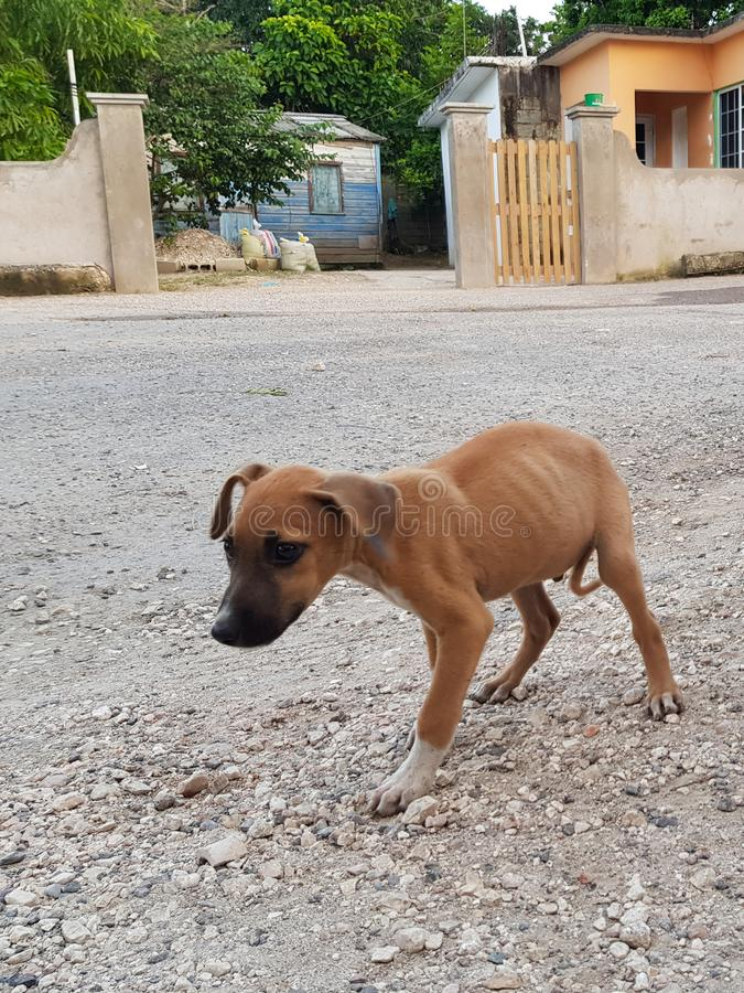 Dakloze hongerige honden in Jamaïca royalty-vrije stock foto's