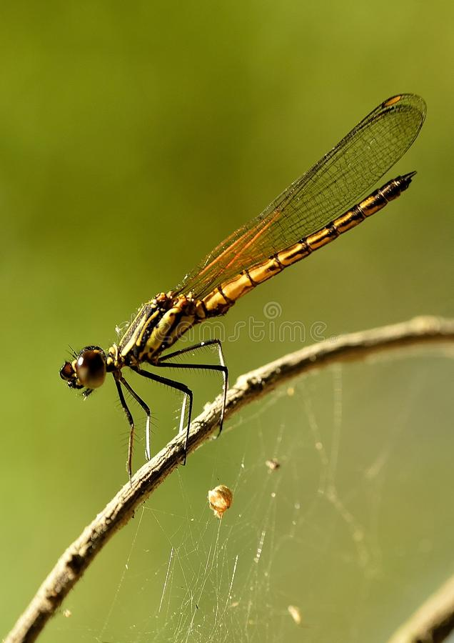 When Dakocan Dragonfly basking in the warmth of th royalty free stock photos