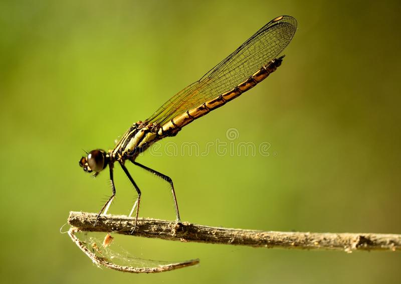 When Dakocan Dragonfly basking in the warmth of th stock photo