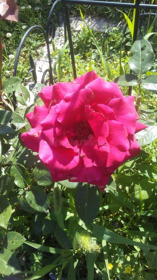 Dakota czerwieni róża zdjęcie royalty free