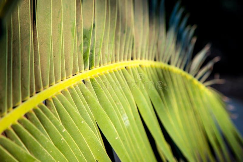 Daktylowa drzewko palmowe gałąź zdjęcie stock