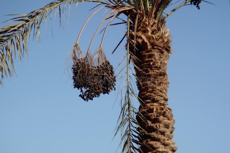 Daktylowa palma, owocowy obwieszenie od gałąź obraz royalty free