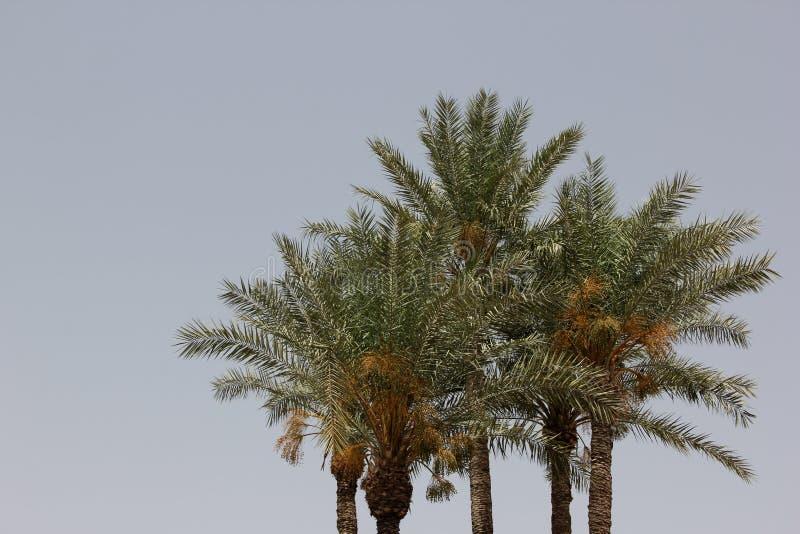 daktylowe palmy zdjęcie stock