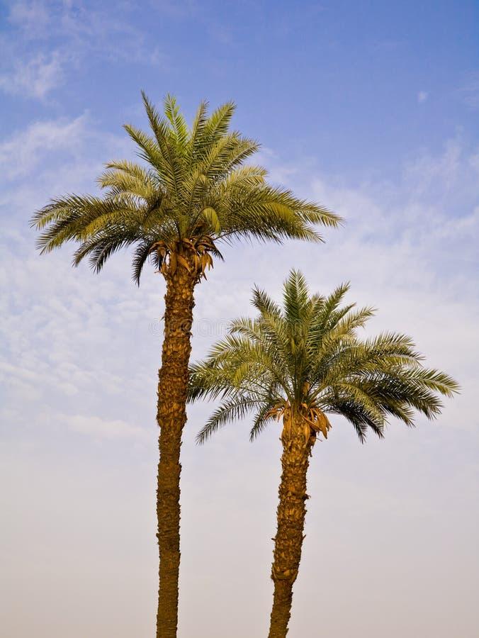 Daktylowe palmy w Luxor fotografia royalty free