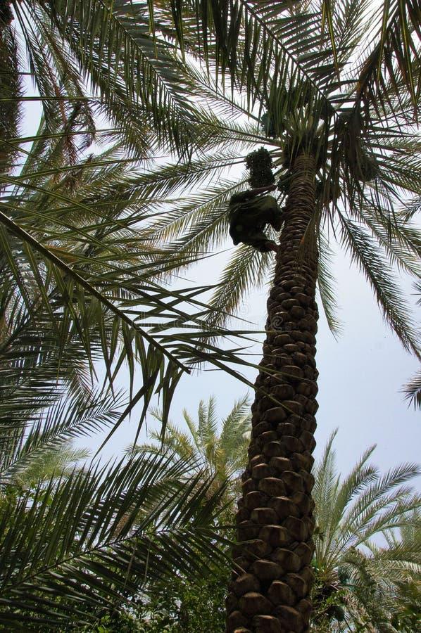 Daktylowe palmy, Zbiera daty fotografia royalty free