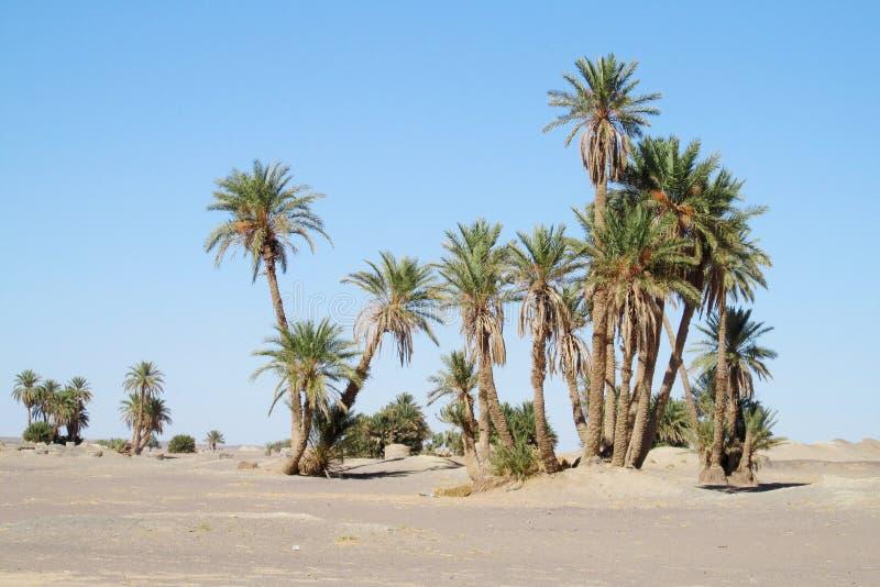 Daktylowi drzewka palmowe w Afryka oazie zdjęcia royalty free