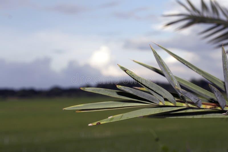Daktylowy drzewko palmowe liść obraz royalty free