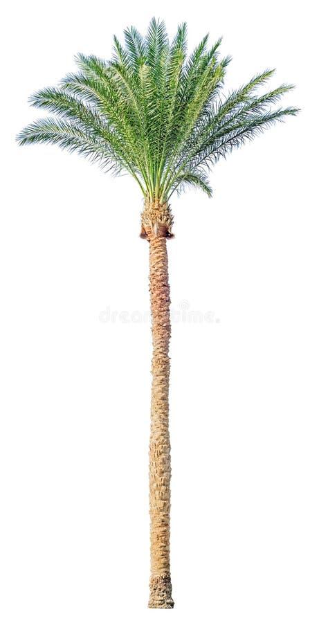 Daktylowy drzewko palmowe odizolowywający zdjęcie royalty free
