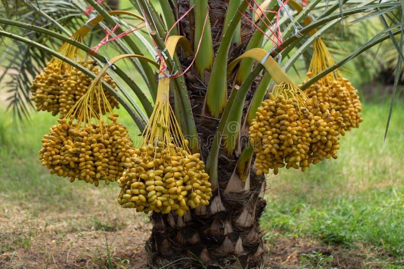 Daktylowych palm owoc na daktylowych palm drzewie r w północy Tajlandia zdjęcia royalty free