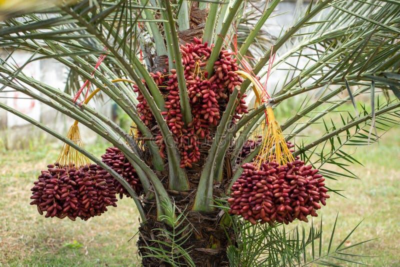 Daktylowych palm owoc na daktylowych palm drzewie r w północy Tajlandia zdjęcie royalty free