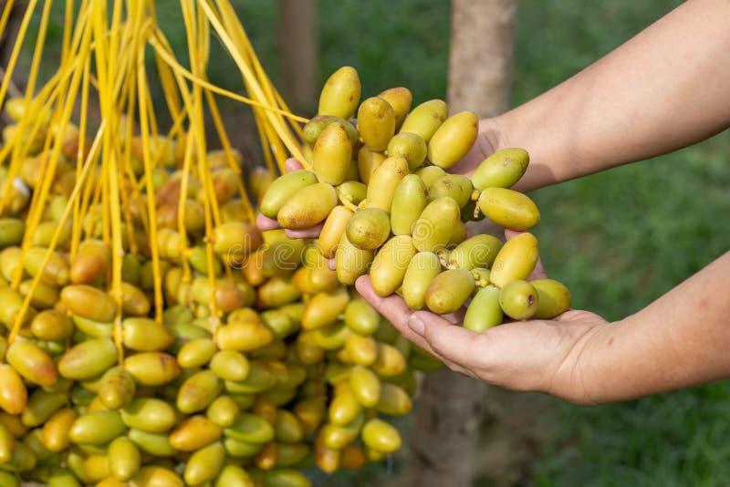 Daktylowych palm owoc w ręce na daktylowych palm drzewie r w północy Tajlandia zdjęcia royalty free