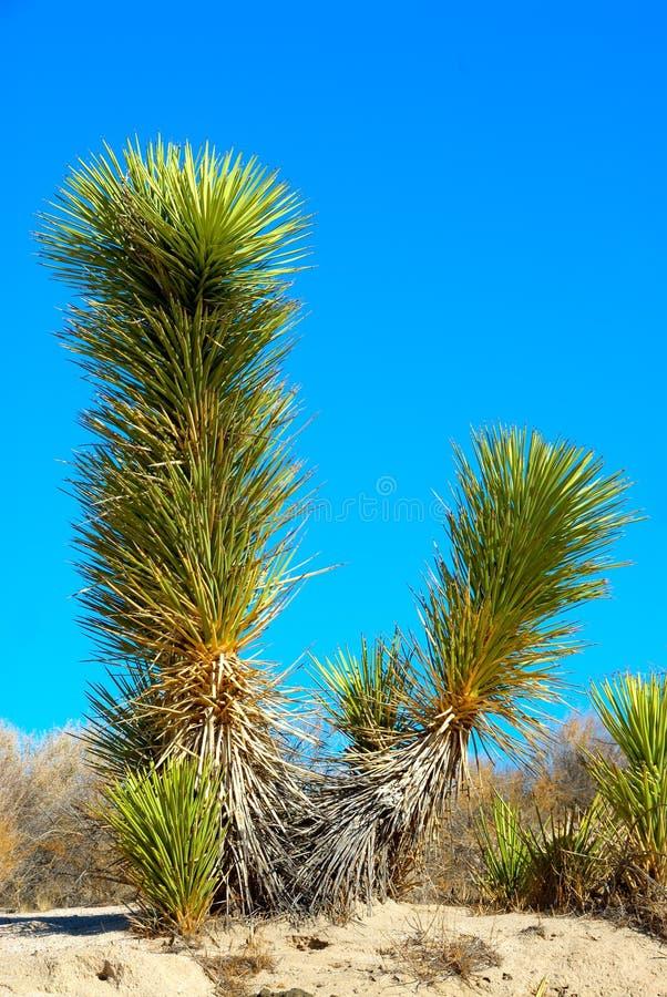 dal för dödjoshua tree arkivfoto