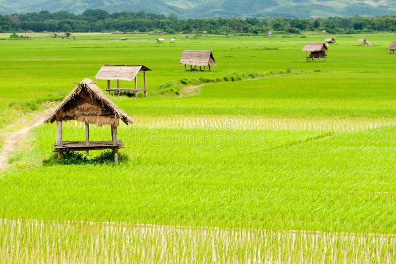 dal för rice för paddy för laos luangnamtha royaltyfri foto