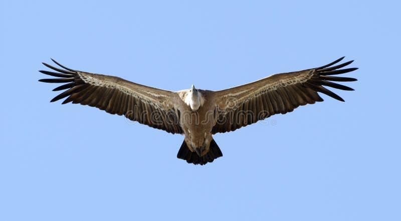 Dal Gier, Griffon Vulture, Gyps-fulvus stock afbeelding