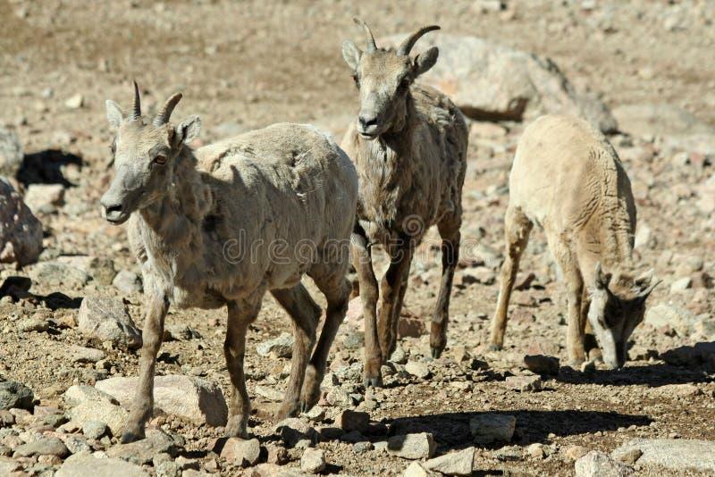 Dal-Schafe lizenzfreies stockfoto