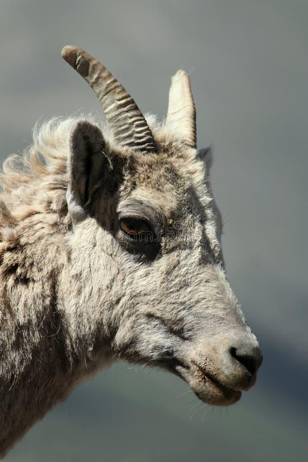 Dal-Schafe lizenzfreie stockfotografie