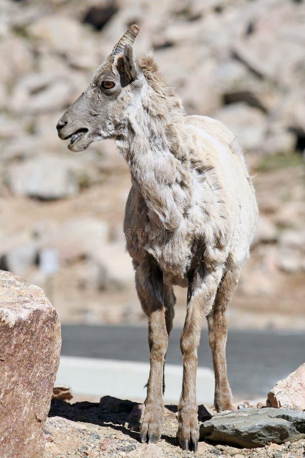 Dal-Schafe stockbild