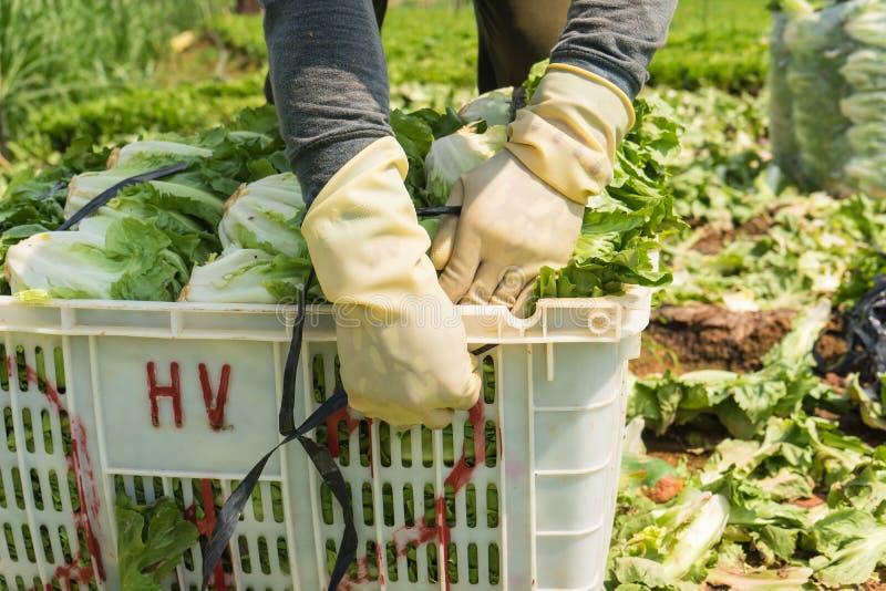 Dalat Vietnam April, 19, 2016: bondeplockninggrönsallaten vid händer fotografering för bildbyråer