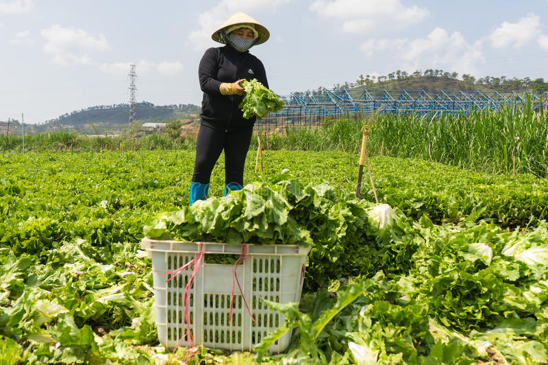 Dalat, vietnam April, 19, 2016 :the farmer harvesting lettuce by hands royalty free stock photos
