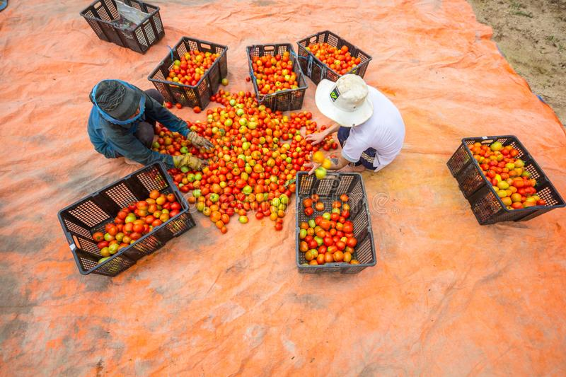 Dalat, Vietnam, lamdong - February 12,2017: the farmers harvest tomatoes in the greenhouse and take it intoh the basket stock photo