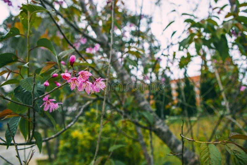 DALAT, VIETNAME - 17 de fevereiro de 2017: A flor da mola, natureza bonita com flor no rosa vibrante, flor de cerejeira de sakura imagens de stock royalty free
