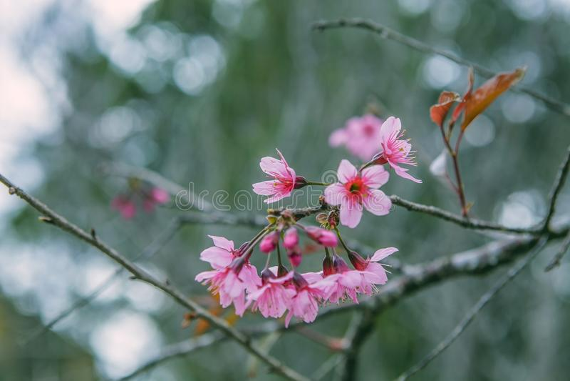 DALAT, VIETNAME - 17 de fevereiro de 2017: A flor da mola, natureza bonita com flor no rosa vibrante, flor de cerejeira de sakura fotos de stock