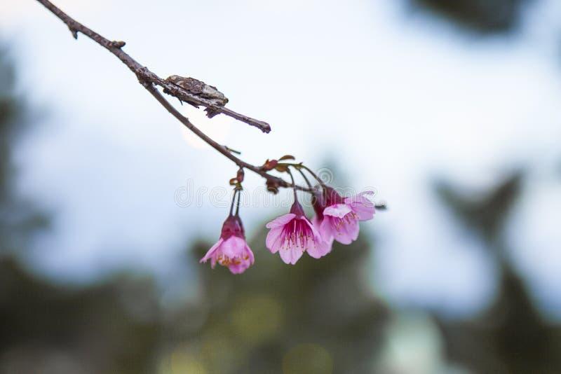 DALAT, VIETNAME - 17 de fevereiro de 2017: A flor da mola, natureza bonita com flor no rosa vibrante, flor de cerejeira de sakura foto de stock