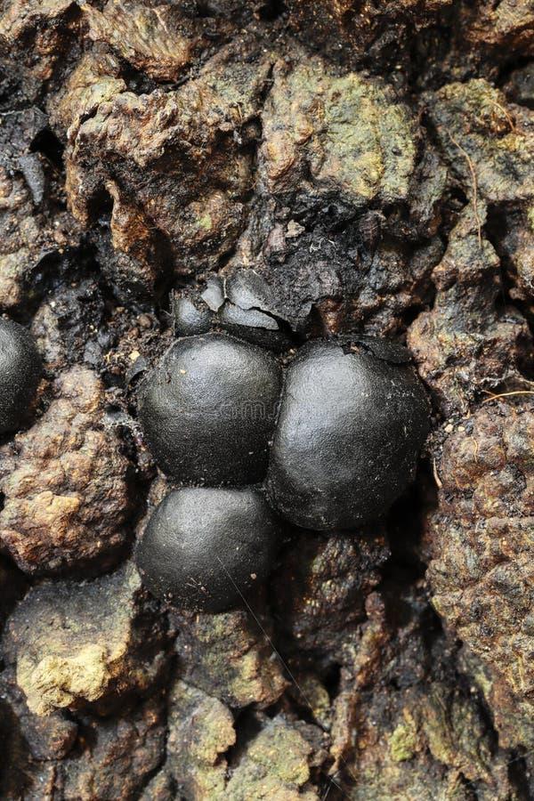 Daldinia concentrica, królewiątka Alfred's torty, drętwienie piłki, węglowy grzyb zdjęcie stock