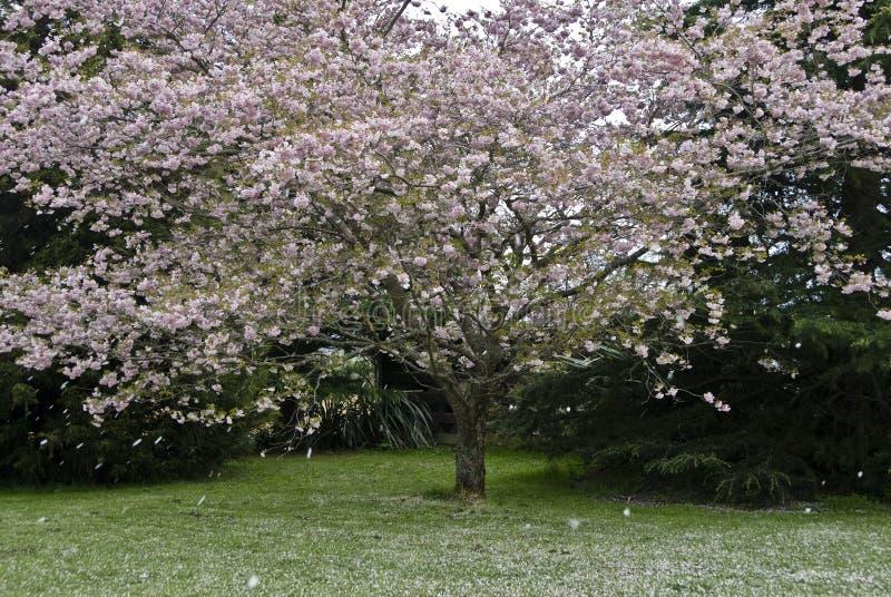 Dalende bloemblaadjes van kersenboom stock afbeelding