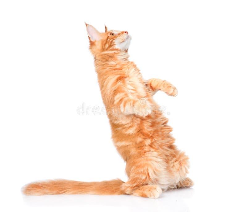 Dalende speelse kat Geïsoleerdj op witte achtergrond stock fotografie