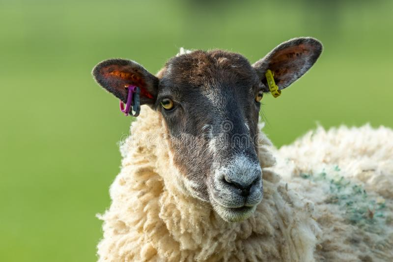 Dalesbred Ewe.  Head and Shoulders.  Close up royalty free stock image