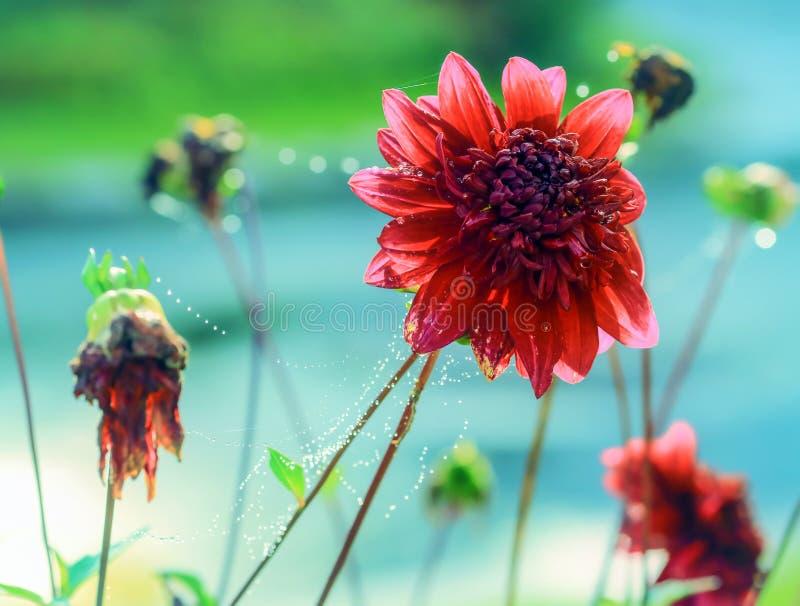 Dalhia φθινοπώρου στοκ φωτογραφίες