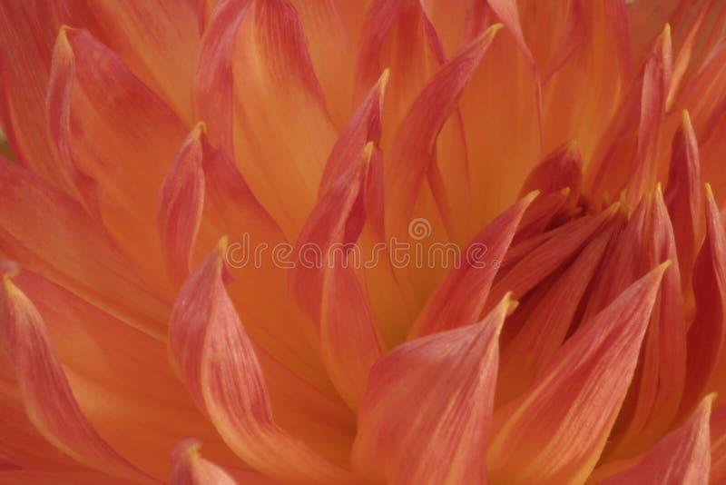 Dalia anaranjada y de color salmón imagenes de archivo