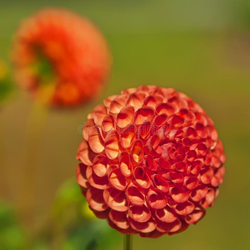 Dalia arancione della sfera fotografia stock
