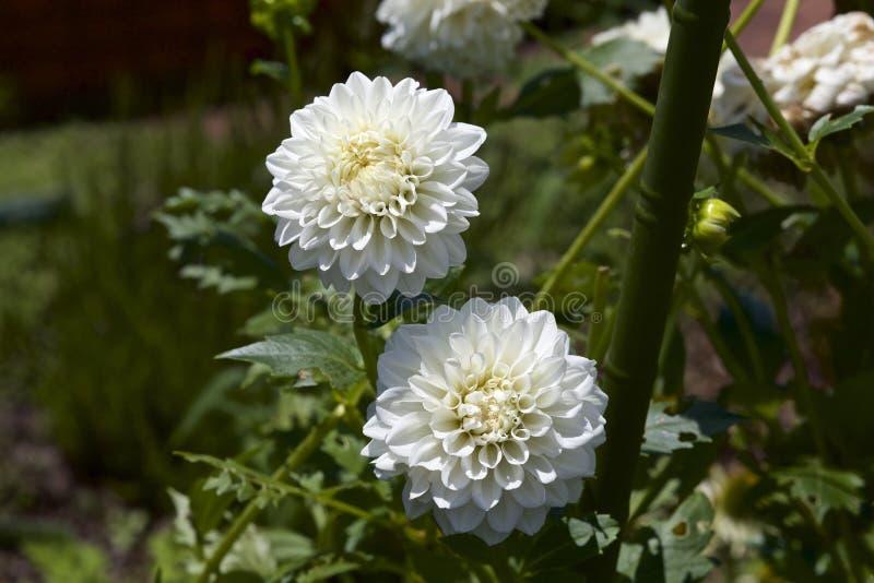 Download Dalia bianca immagine stock. Immagine di verde, flora - 56891123