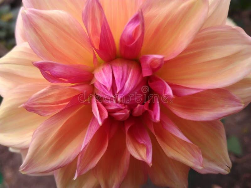 Dalia blomma royaltyfri fotografi