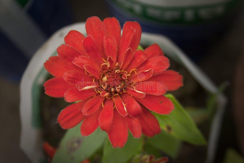 Dalia-Blume stockfoto