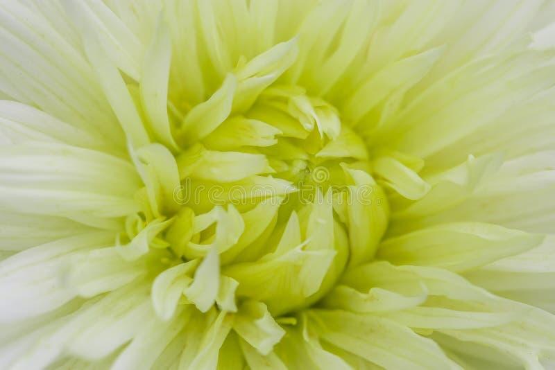 Dalia della viola bianca del primo piano in fioritura immagine stock libera da diritti