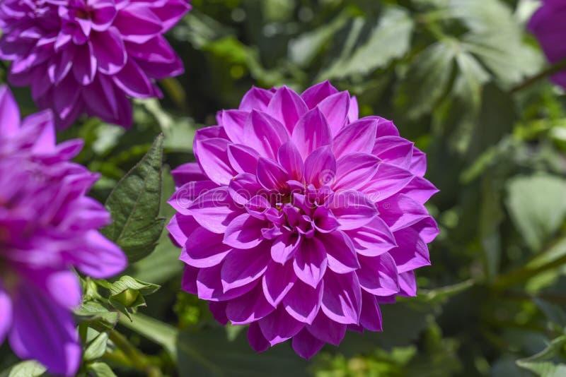 Dalia die in de tuin op een zonnige de zomerdag bloeien royalty-vrije stock afbeeldingen