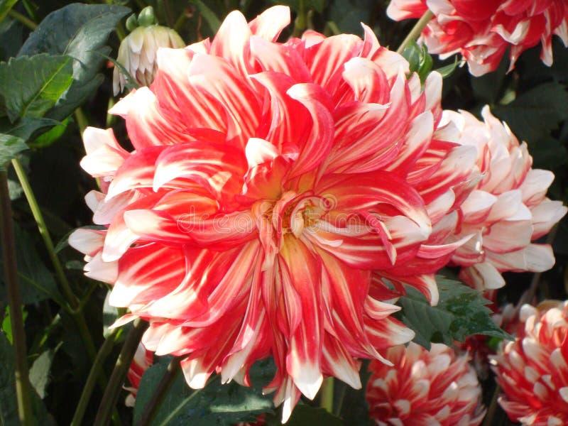 Dalia e foglie verdi bianco-rosse vibranti fotografia stock libera da diritti