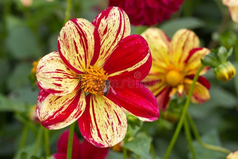 Dalia en la floración en un jardín imagen de archivo