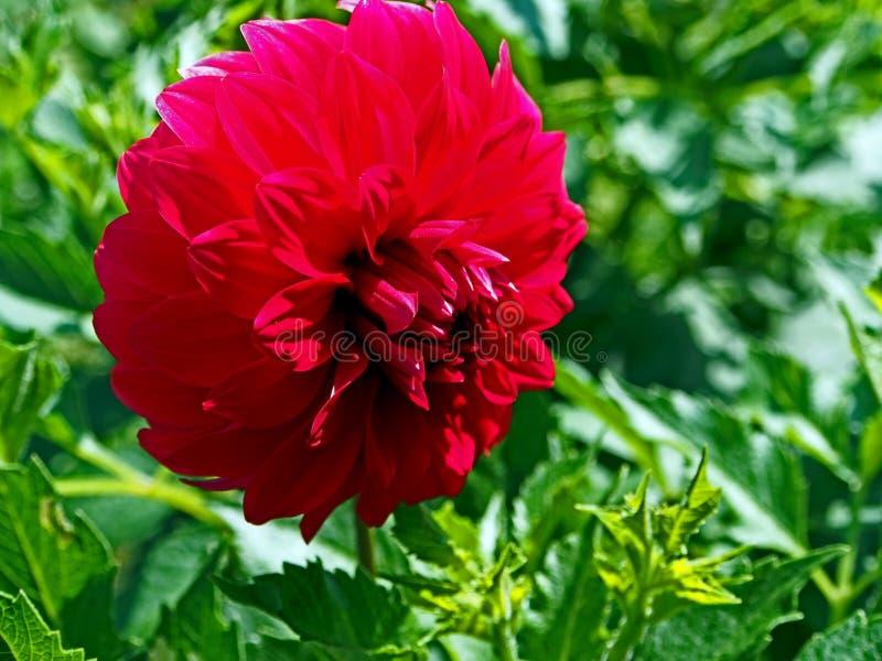 Dalia floreciente roja en el jard?n foto de archivo
