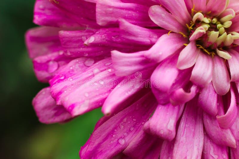 Dalia Flower-close-upmacro royalty-vrije stock afbeelding