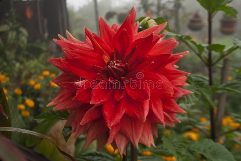 Dalia Flower at Khulna,Bangladesh. Local name of the Flower is Dalia botanical name: Dahlia. Dhaka, Bangladesh stock photography