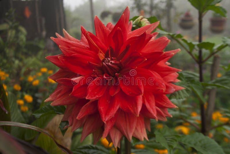 Dalia Flower at Khulna,Bangladesh. Local name of the Flower is Dalia botanical name: Dahlia. Dhaka, Bangladesh stock photography