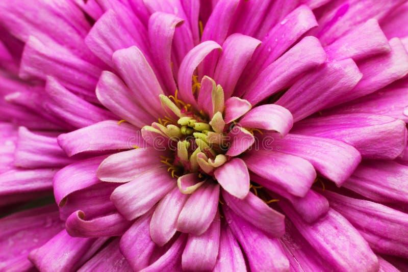 Dalia Flower Macro-fotografie royalty-vrije stock foto
