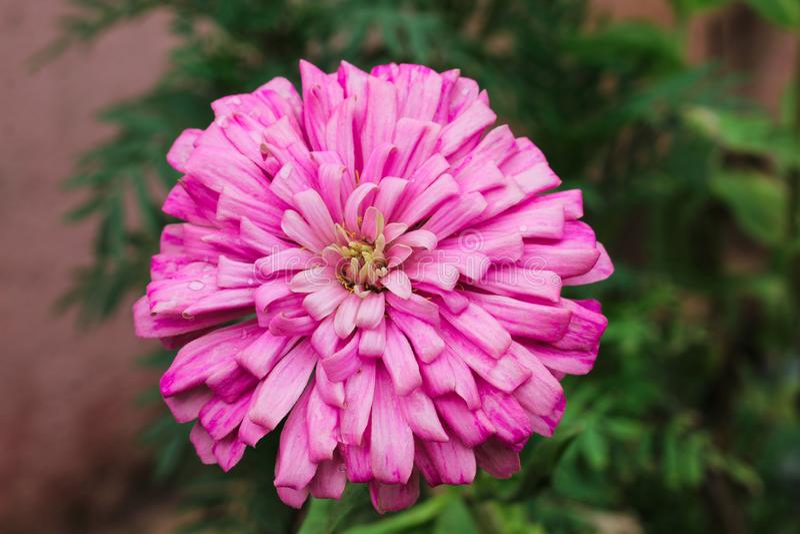 Dalia Flower met bloemblaadje stock fotografie