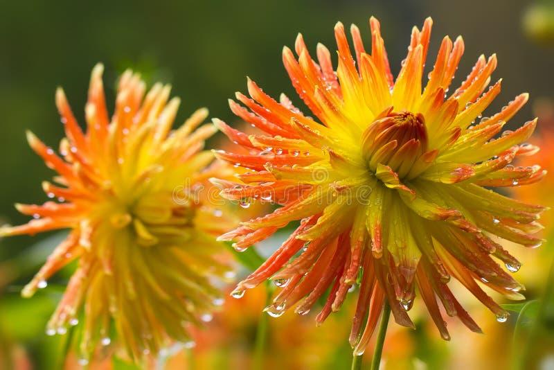 Dalia gialla in fioritura nel giardino fotografia stock libera da diritti