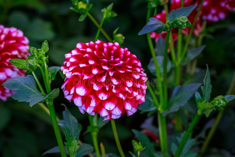 Dalia hermosa en el jardín imagen de archivo